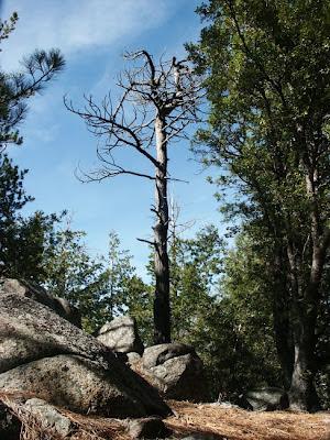 dead+pine+tree.JPG